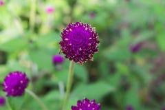 Purpurrotes Hintergrundgrün des Amarants, purpurrot Stockfoto
