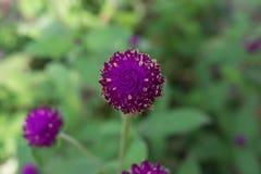 Purpurrotes Hintergrundgrün des Amarants, purpurrot Lizenzfreies Stockfoto