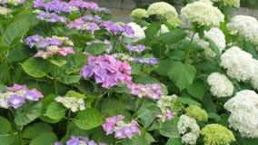 Purpurrotes Hortensieblume Hortensie macrophylla in einem Garten Stockfotos