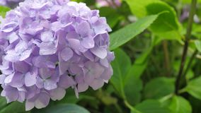 Purpurrotes Hortensieblume Hortensie macrophylla in einem Garten Lizenzfreie Stockfotografie