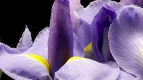 Purpurrotes Iris Flower-Zeit-Versehen stock footage