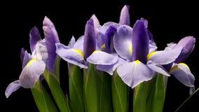 Purpurrotes Iris Flower-Zeit-Versehen stock video