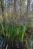 Purpurrotes Irisblumenwachsen wild im Louisiana-Bayousumpfwasser lizenzfreies stockfoto