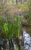 Purpurrotes Irisblumenwachsen wild im Louisiana-Bayousumpfwasser stockfotografie