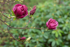 Purpurrotes japanisches Magnolienblütenblühen Lizenzfreie Stockfotografie