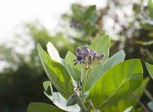 Purpurrotes Kronenblumenblühen. Stockfoto