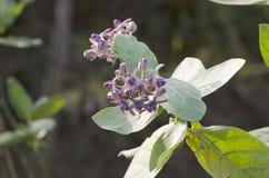 Purpurrotes Kronenblumenblühen. Lizenzfreie Stockfotos