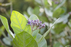 Purpurrotes Kronenblumenblühen. Lizenzfreie Stockbilder