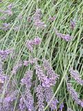 Purpurrotes lavendel Lizenzfreie Stockfotos