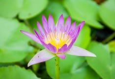 Purpurrotes Lotus Stockbild