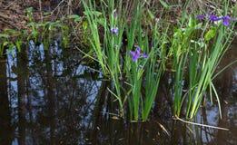 Purpurrotes Louisiana-Irisblumenwachsen wild im dunklen reflektierenden Sumpfwasser lizenzfreies stockbild