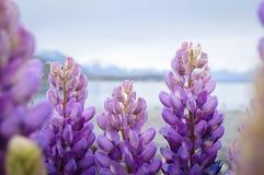 Purpurrotes Lupinenblumenwachsen durch See Tekapo in Neuseeland Stockbild