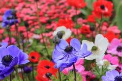 Purpurrotes Mohnblumenanemone flowerAnemone Coronaria Stockbilder