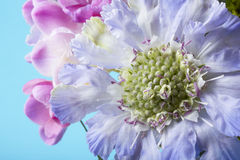 Purpurrotes Nadelkissen und rosa Freesieblumen Stockfotografie