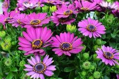 Purpurrotes Osteospermum, afrikanisches Gänseblümchen oder Kap-Gänseblümchen Stockfotos