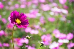 Purpurrotes rosa Blumenblühen des Kosmos Lizenzfreies Stockbild