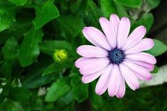 Purpurrotes Rosa des Gerbera stockfotografie