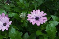 Purpurrotes Rosa des Gerbera lizenzfreie stockfotos