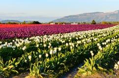 Purpurrotes rotes weißes Tulpenfeld Lizenzfreie Stockfotos