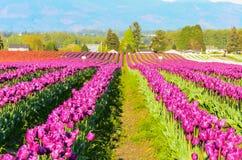 Purpurrotes rotes weißes Tulpenfeld Stockbilder