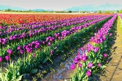 Purpurrotes rotes weißes Tulpenfeld Lizenzfreies Stockbild