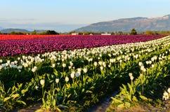 Purpurrotes rotes weißes Tulpenfeld Stockfotos