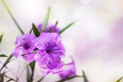 Purpurrotes Ruellias oder wilde Petunien blüht mit Wassertropfen auf Blumenblatt Stockbilder