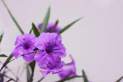 Purpurrotes Ruellias oder wilde Petunien blüht mit Wassertropfen auf Blumenblatt Lizenzfreie Stockbilder