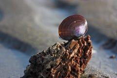 Purpurrotes Shell auf einer Entspannung plätscherte Sandstrand Lizenzfreie Stockfotografie