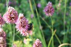 Purpurrotes spitzes der Blume mit Stiel mit Biene stockfotos