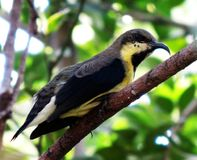Purpurrotes sunbird Lizenzfreie Stockfotos