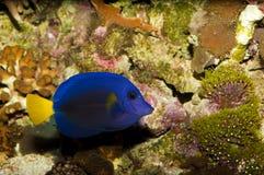 Purpurrotes Tang im Aquarium lizenzfreies stockfoto