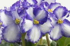 Purpurrotes u. weißes Usambaraveilchen lokalisiert auf weißem Hintergrund stockfotografie