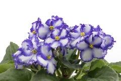 Purpurrotes u. weißes Usambaraveilchen lokalisiert auf weißem Hintergrund lizenzfreies stockbild