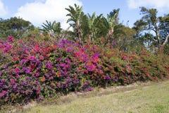 Purpurrotes und rotes blühendes Bouganvilla bepflanzt natürliche Vegetation mit Büschen Stockbild