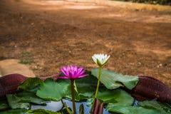 Purpurrotes und weißes Lotus-Blumen in einem Topf Stockbilder