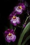 Purpurrotes und weißes Orchis Stockfotografie