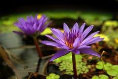 Purpurrotes Wasser Lillies und Auflagen stockbild