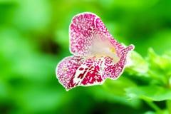 Purpurrotes Weiß beschmutzte mimulus Affeblume im Garten Stockbilder