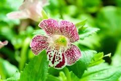 Purpurrotes Weiß beschmutzte mimulus Affeblume im Garten Lizenzfreie Stockfotografie