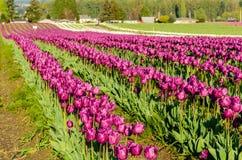 Purpurrotes weißes Tulpenfeld Lizenzfreie Stockbilder