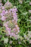 Purpurrotes weises Salvia-leucophylla, das im Frühjahr, Kalifornien blüht stockfotos