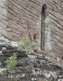 Purpurrotes wilde Blumen-Wachsen auf Tintern Abbey Ruins Stockfoto