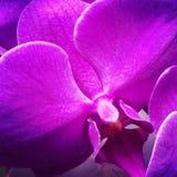 purpurt Arkivbilder