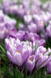 purpurt royaltyfria bilder