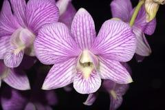 purpurt band för orchid arkivbilder