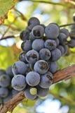 purpurt moget för druvor Arkivbilder