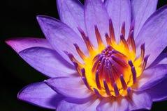 purpurt thailavatten för färgrik lilja Fotografering för Bildbyråer