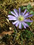purpury Obraz Royalty Free