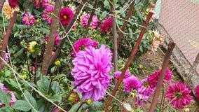 purpury Zdjęcia Stock